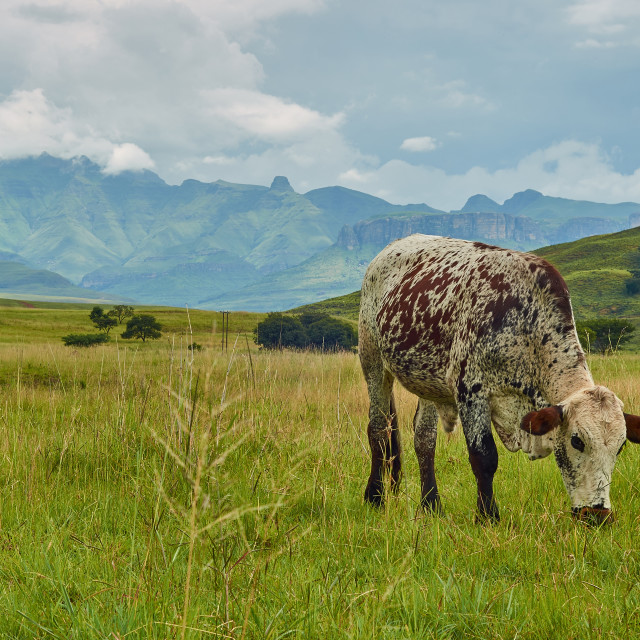 """Ngunu cow cattle grazing in field with mountain range landscape"" stock image"