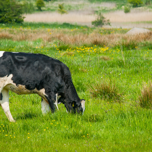 """Holstein Friesian cow on a field in Denmark"" stock image"