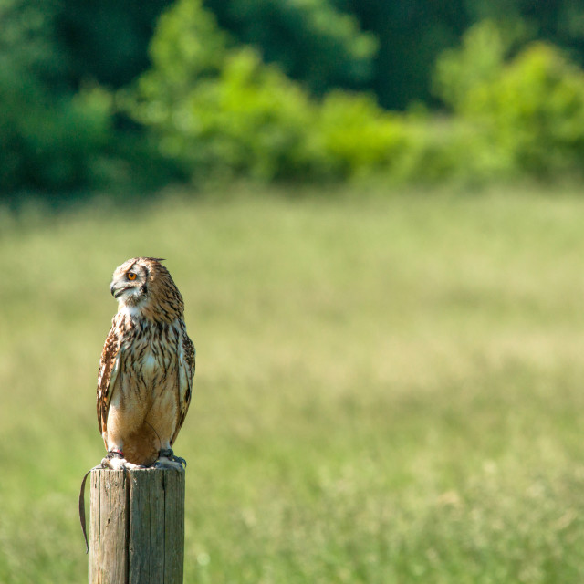 """Horned owl looking to the left"" stock image"