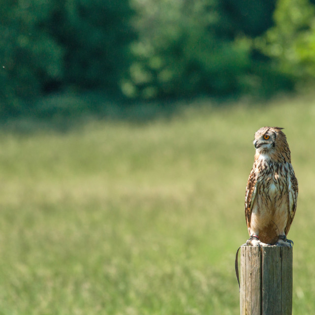 """Horned owl sitting on a wooden post"" stock image"