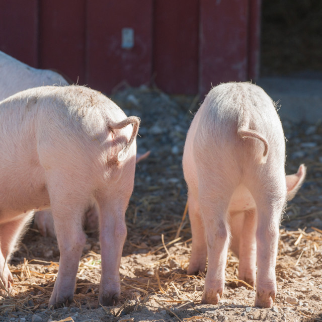 """""""Pink piglets with curly tails"""" stock image"""