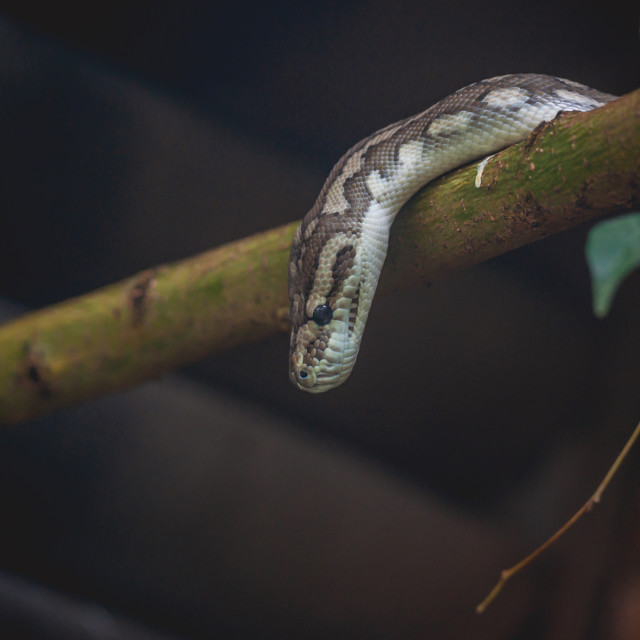 """""""Snake looking down from a tree"""" stock image"""