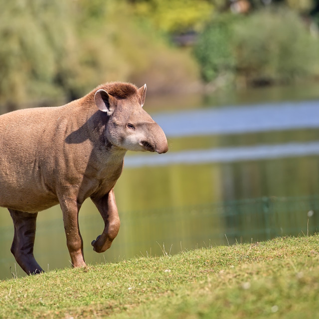 """""""Tapir in a clearing"""" stock image"""