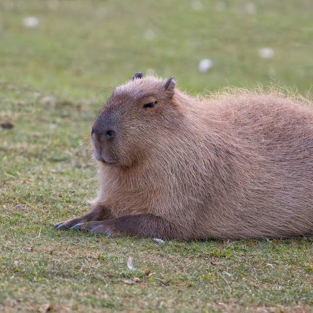 """Capybara resting in a clearing"" stock image"