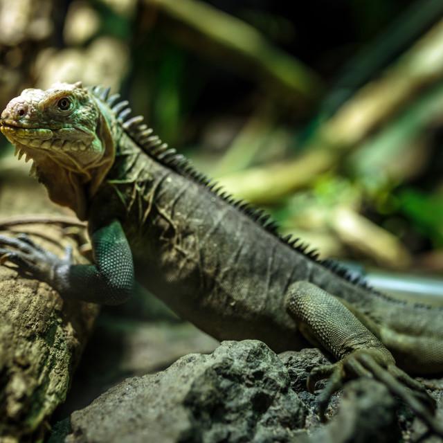 """""""Little iguana"""" stock image"""