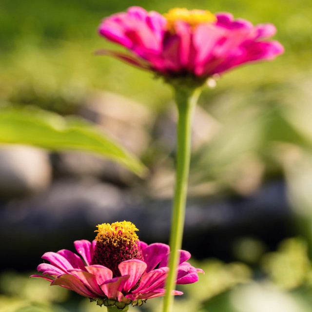 """""""Bloom of pink flower with yellow pistils next to second one"""" stock image"""