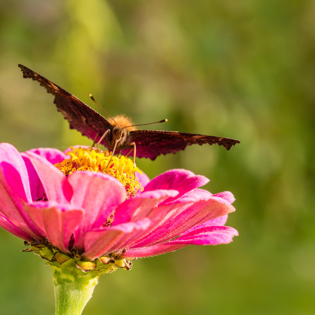 """""""Butterfly sits on pink bloom and looks into camera"""" stock image"""
