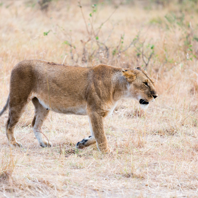 """Wandering lioness"" stock image"