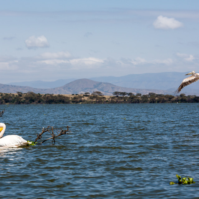 """Lake Naivasha birds"" stock image"