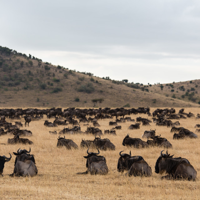 """Wildebeest resting before attempting a river crossing"" stock image"