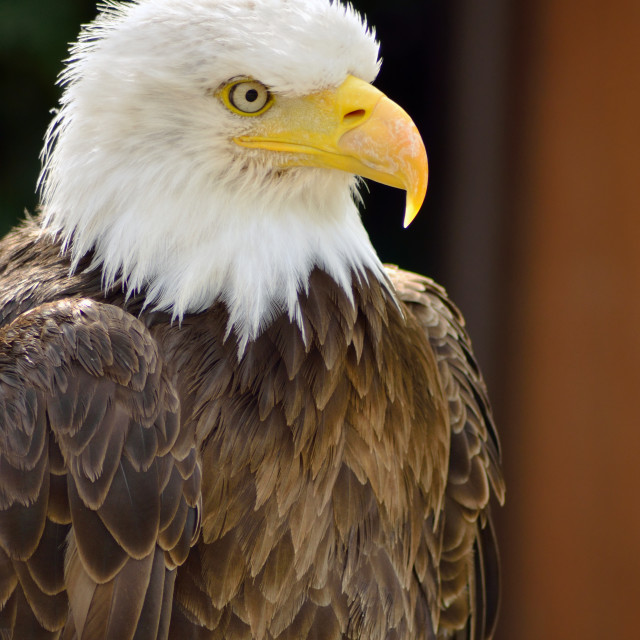 """American sea eagle"" stock image"