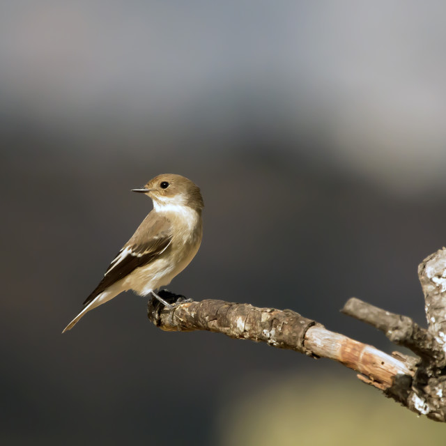 """A Pied Flycatcher Female."" stock image"