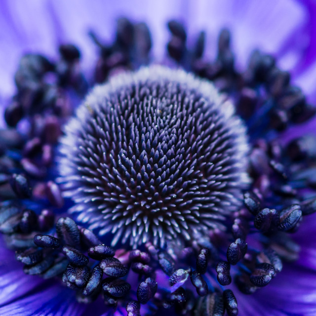 """Blue Anemone Centre"" stock image"