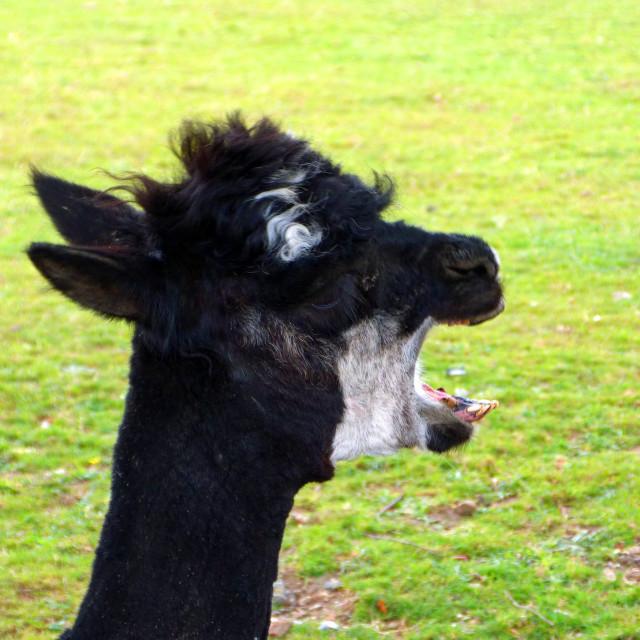 """Alpaca Yawn"" stock image"