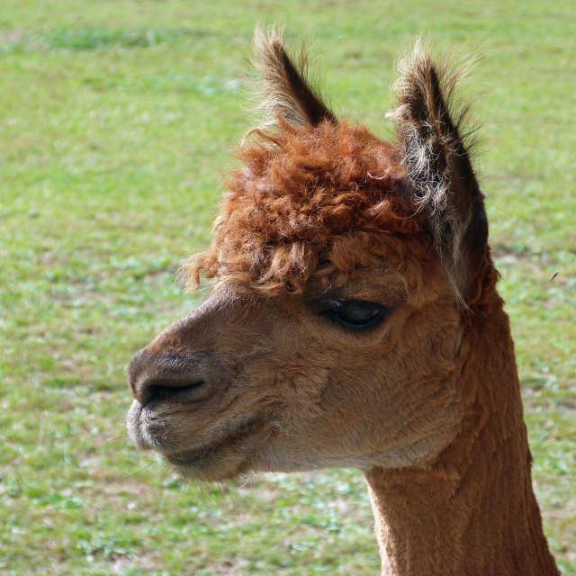 """Alpaca Ears"" stock image"