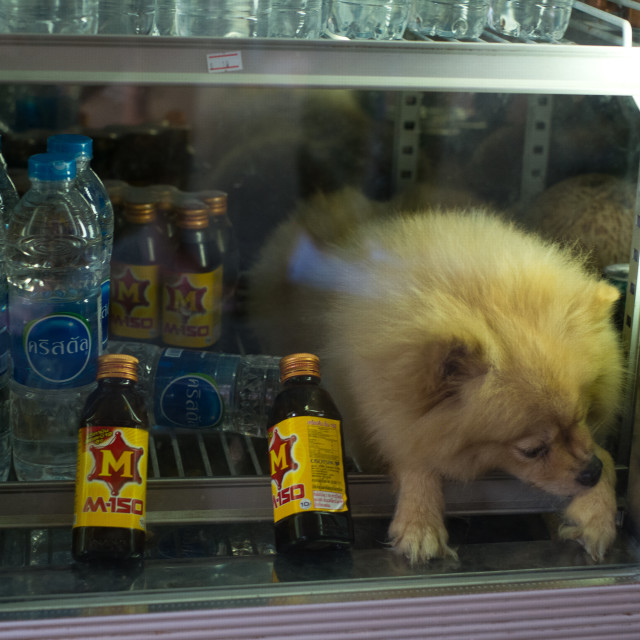 """Dog in Fridge, Floating Market Damnoen Saduak, Thailand"" stock image"