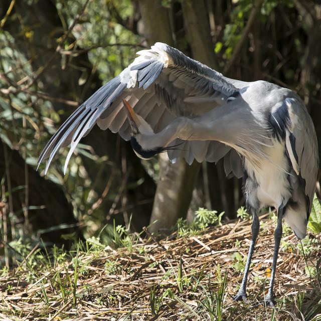 """Grey Heron Preening."" stock image"