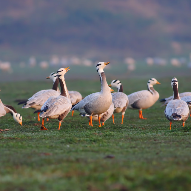 """Bar headed Goose"" stock image"