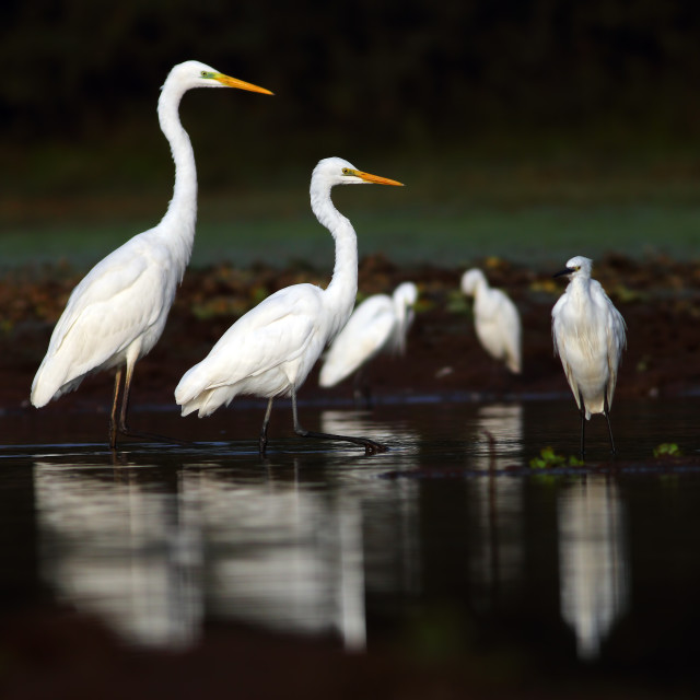 """Flock of egrets"" stock image"
