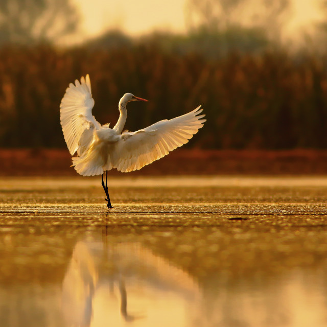 """Great Egret landing"" stock image"