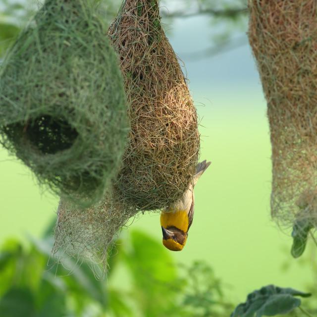 """Baya weaver making The nest"" stock image"