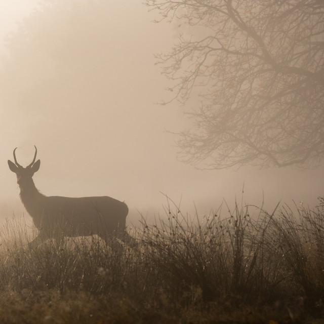 """Red deer stag during rutting season in Richmond Park, London, United King"" stock image"