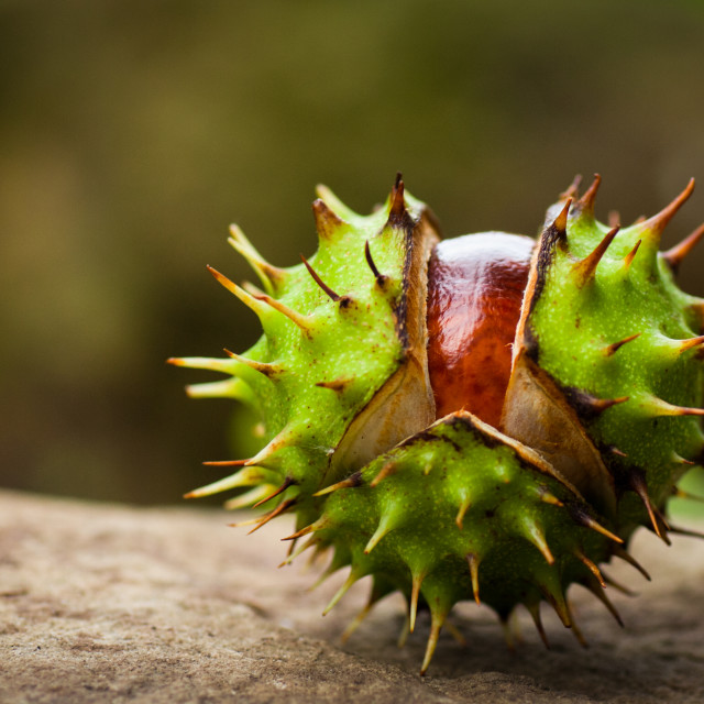 """Conker opening up"" stock image"