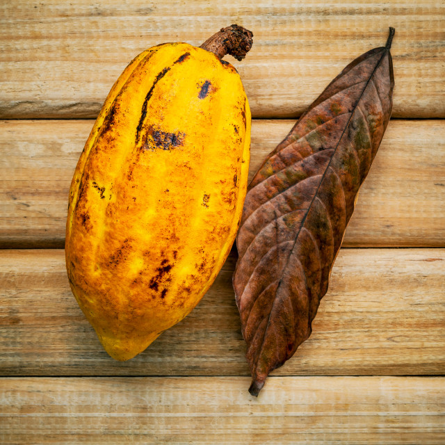"""""""Ripe Indonesia's cocoa setup on rustic wooden background."""" stock image"""