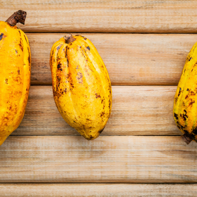 """""""Ripe Indonesia's cocoa pod setup on rustic wooden background."""" stock image"""