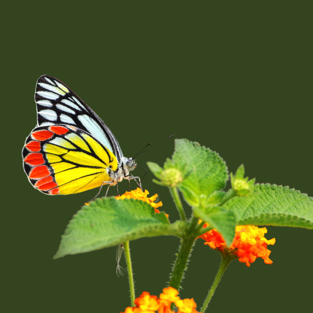 """The Common Jezebel (Delias eucharis)"" stock image"