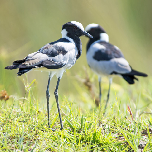 """Blacksmith Lapwing"" stock image"