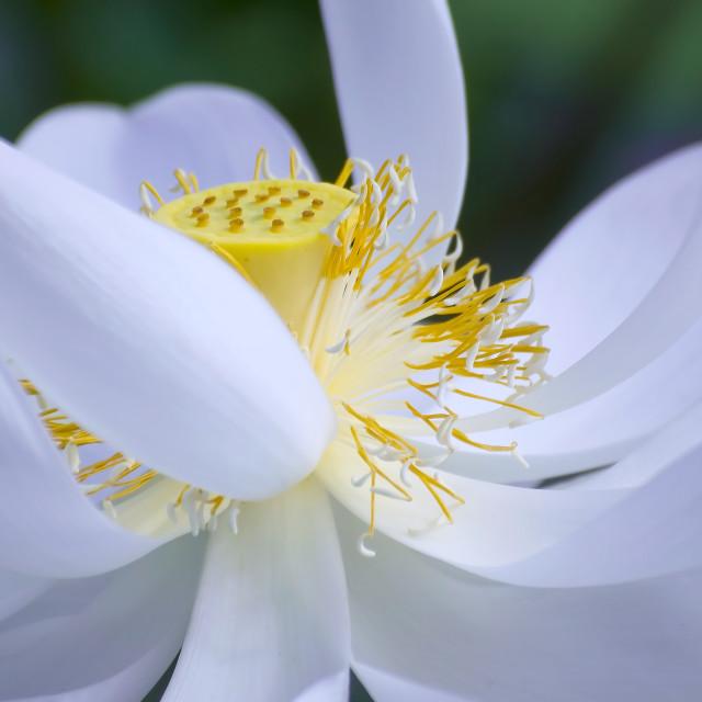 """""""White lotus"""" stock image"""