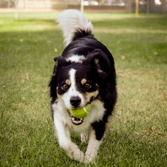 """border collie with a tennis ball"" stock image"