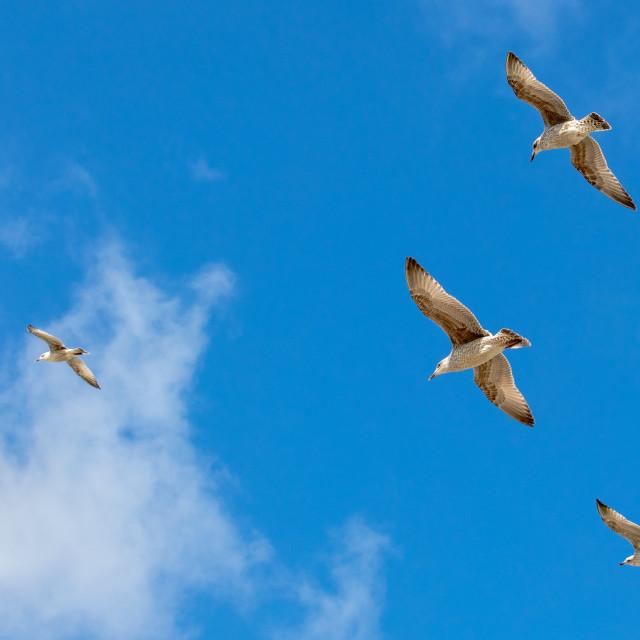 """Juvenile Gulls"" stock image"