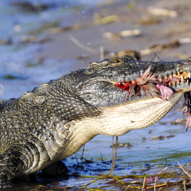 """Nile Crocodile eating a goose"" stock image"