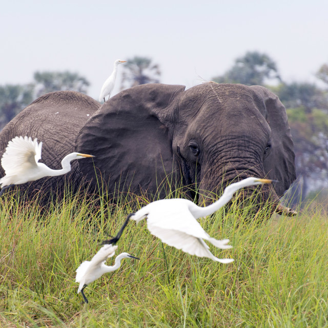 """Elephant with herons"" stock image"