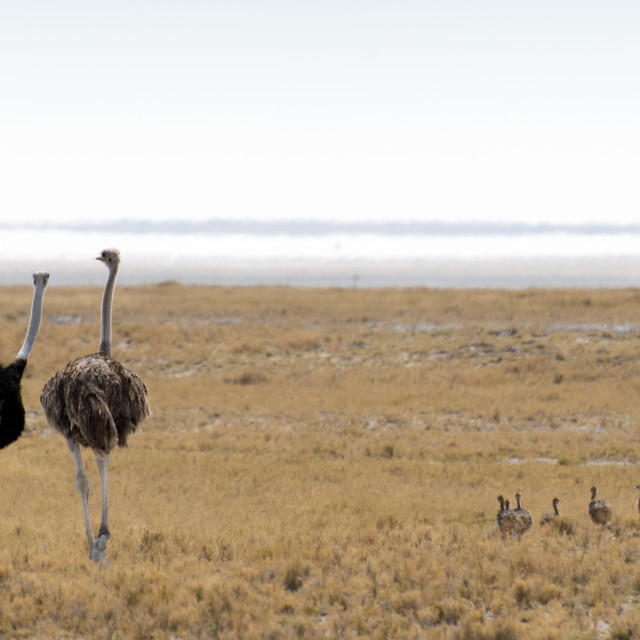 """Ostrich with chickens"" stock image"