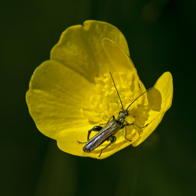 """Beetle on Buttercup"" stock image"