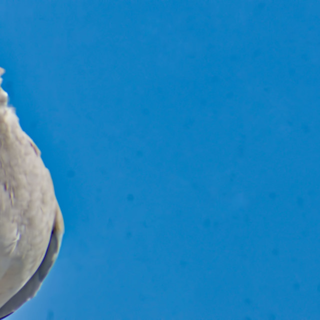 """""""pigeon in a blue sky"""" stock image"""