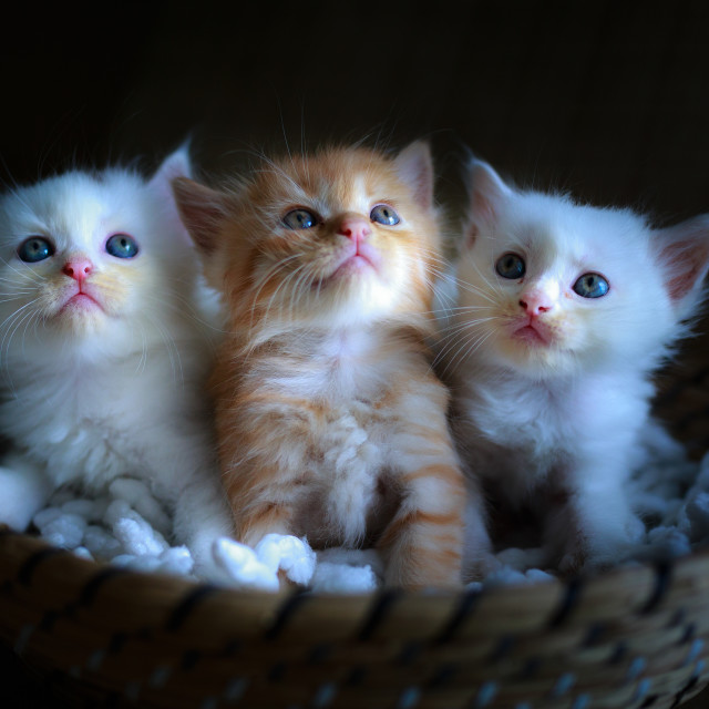 """""""Three pretty and cute kitten sitting in a basket"""" stock image"""