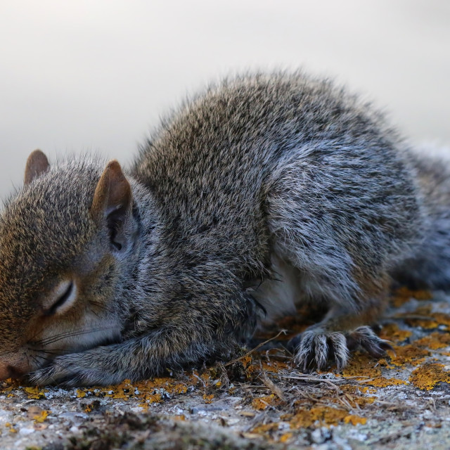 """Baby Squirrel Sleeping"" stock image"