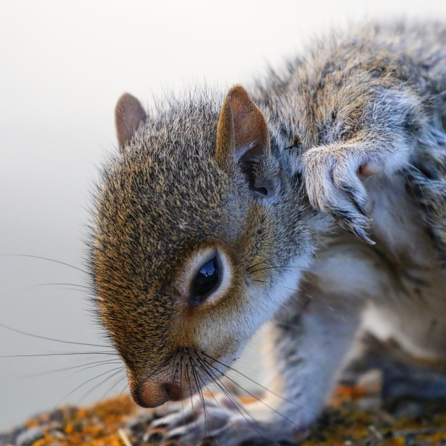 """Baby Squirrel"" stock image"