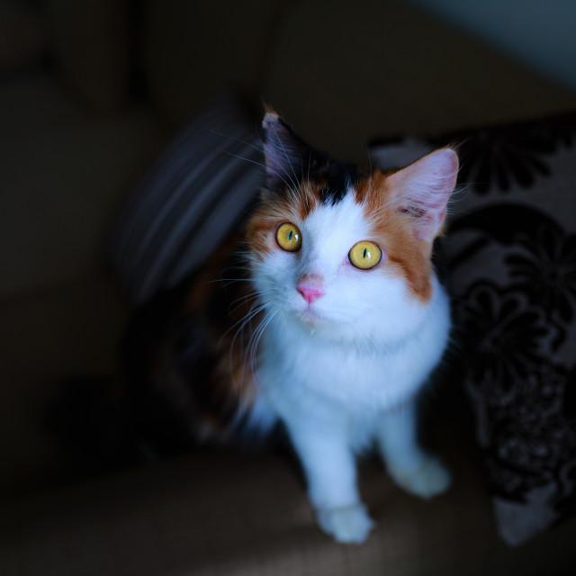 """Cute strip female British Shorthair, yellow eyes"" stock image"