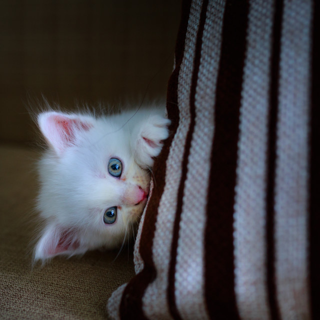 """""""cute white kitten is playing under the sofa"""" stock image"""