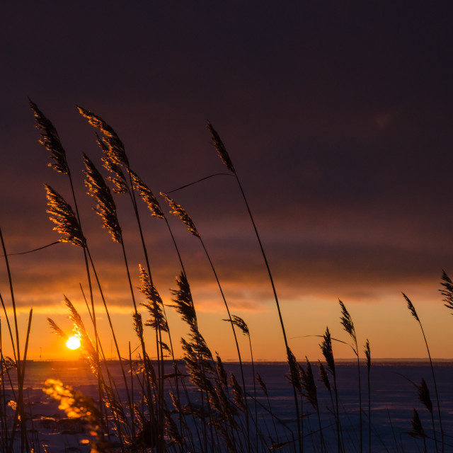 """Reeds by sunset"" stock image"