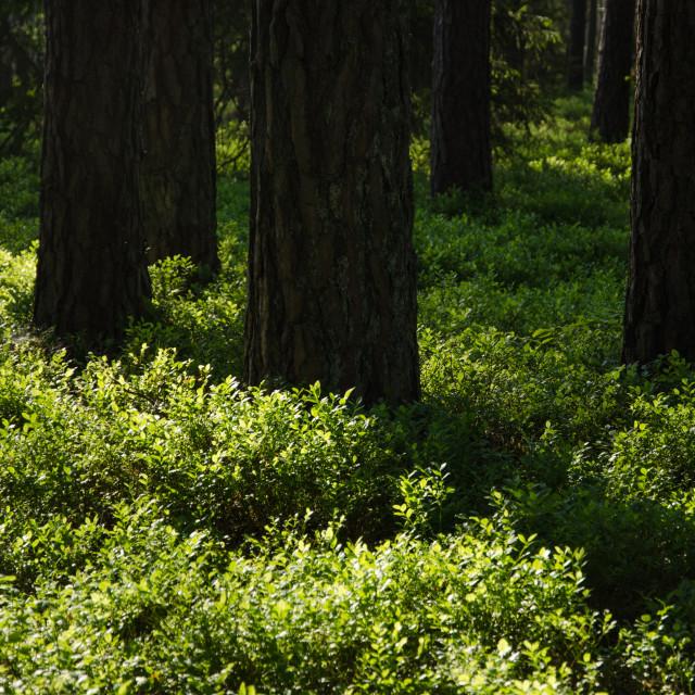 """""""Shiny blueberry bushes"""" stock image"""