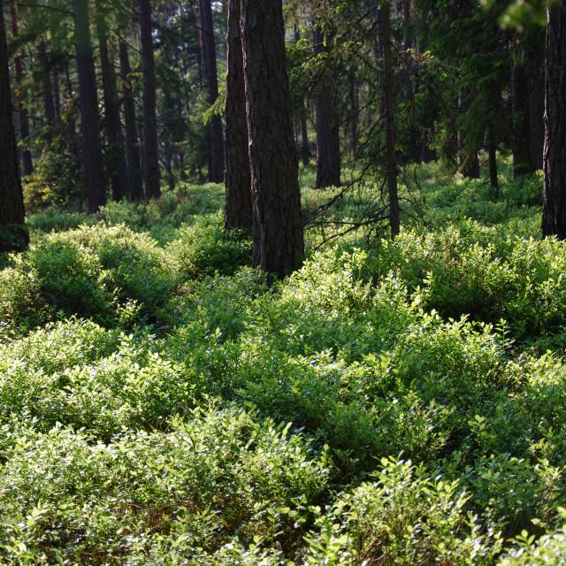 """Forest with shiny blueberry bushes"" stock image"