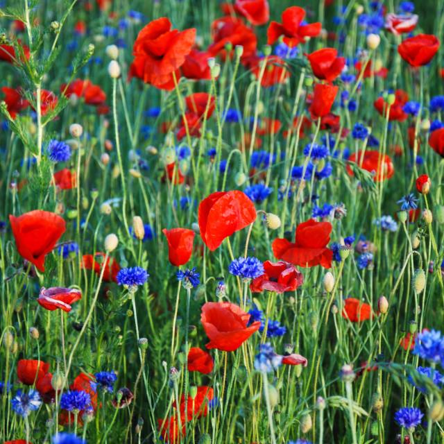 """Poppies and cornflowers"" stock image"