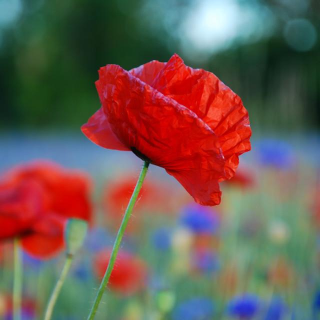 """""""Single poppy flower focused"""" stock image"""