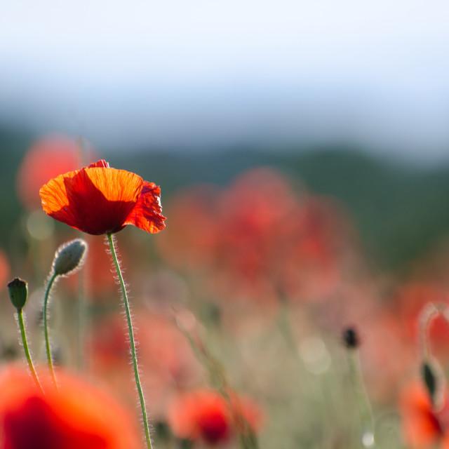 """""""Focus on one poppy flower"""" stock image"""